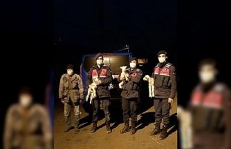 Jandarma donmak üzere olan başıboş kuzuları sahibine teslim etti