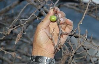 Ocak ayında erik ağacı meyve verdi