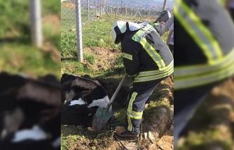 Bataklığa saplanan ineği itfaiye kurtardı
