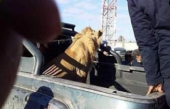 Libya'da sokakta dolaşan aslan paniğe neden oldu