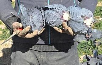 Mardin'de çiftçiler keçi gübresiyle ilk defa karalahana yetiştirdi