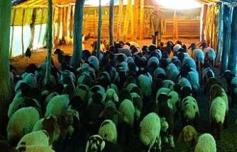 (Özel) 650 bin koyun ve keçinin doğum sezonu devam ediyor