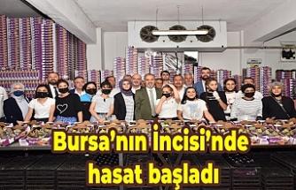 Bursa'nın İncisi'nde hasat başladı