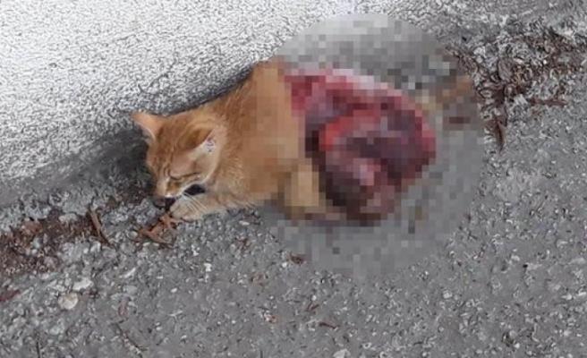 Bunu yapan insan olamaz... Savunmasız kedinin derisini canlı canlı yüzdüler