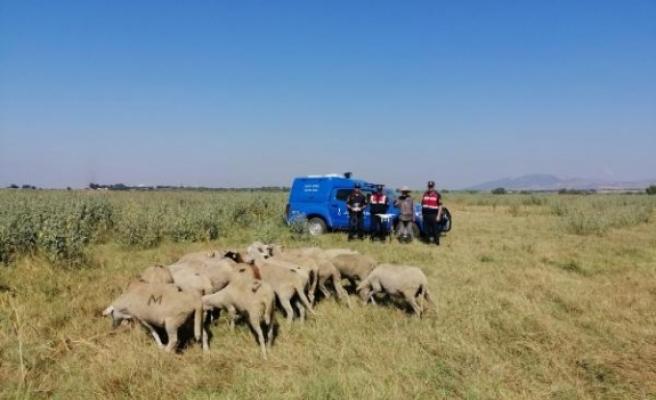 Kayıp koyunları drone ile buldu