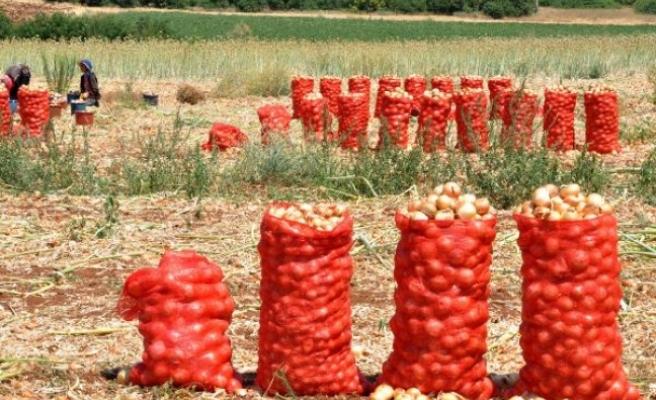 Soğan üreticisi memnun