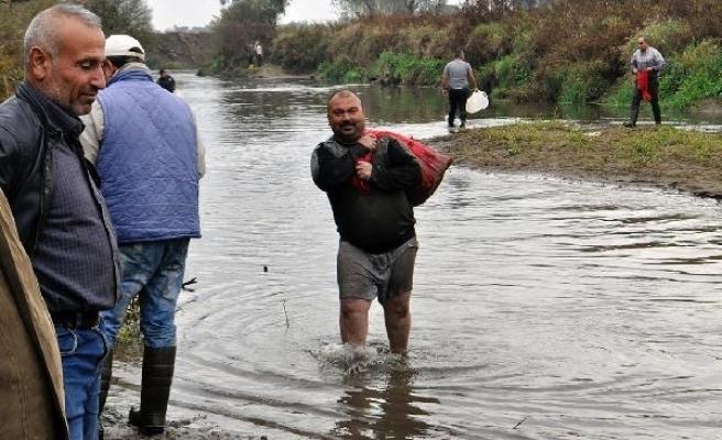 Nehirdeki ölü balıkları çuval ve kasalarla evlerine götürdüler