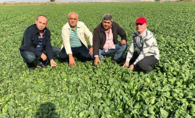 Salihlili üreticiler dertli, ıspanağın tarlada fiyatı 80 kuruşa düştü