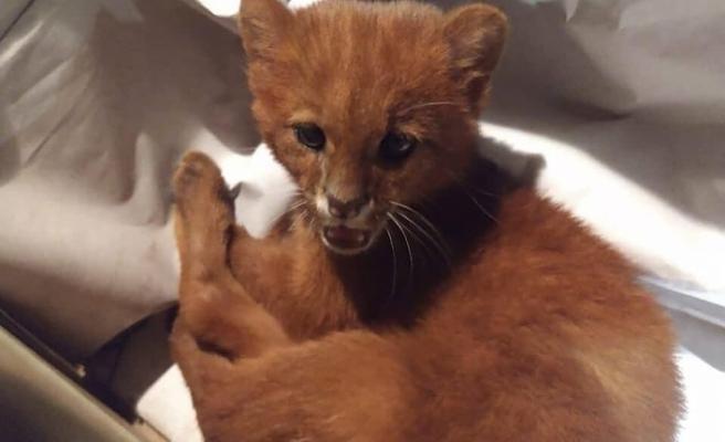 Yavru kedi diye 2 ay evinde besledi