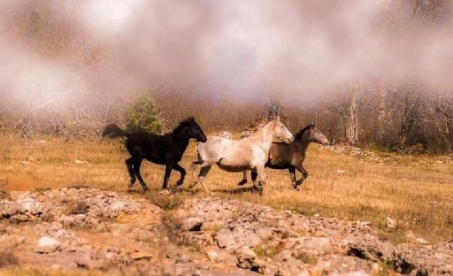 Yaylada yılkı atlarını fotoğrafladı