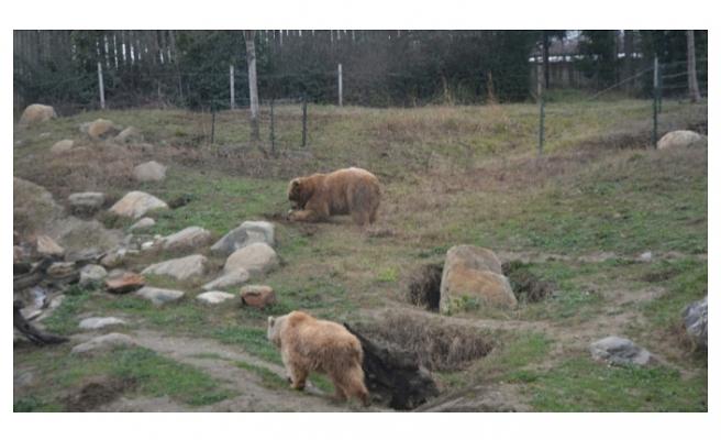 Bursa'da boz ayılar uykusuz