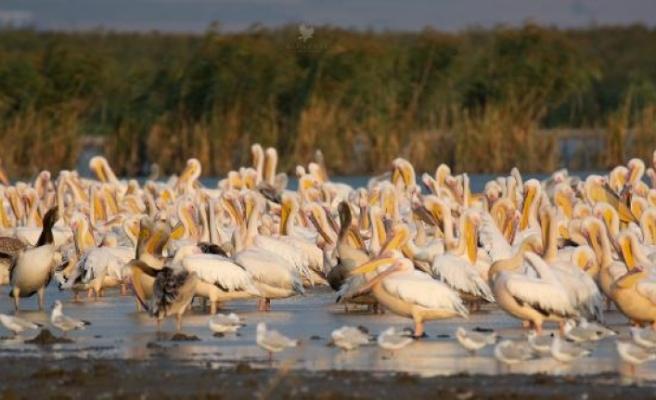 Afrika'dan göçen pelikanlar, Karacabey'de mola verdi