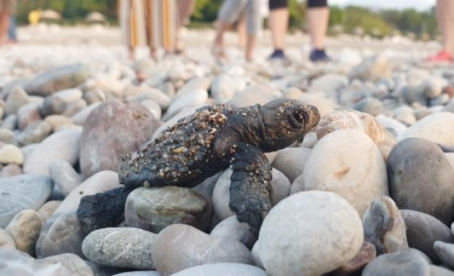 Çıralı'da bu sezon 3 bin 100 caretta caretta denizle buluştu