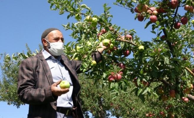 Bahçede yer tasarrufu sağladı: 2 tür elma aynı dalda