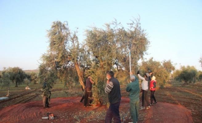 Kısıtlamadan muaf olan zeytin üreticileri hasat yaptı