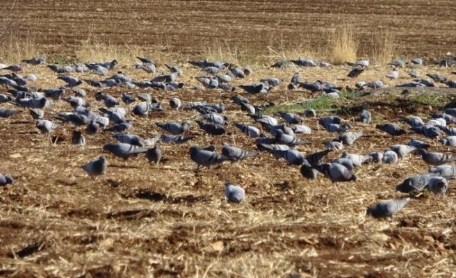Sürü halindeki güvercinler hayran bıraktı