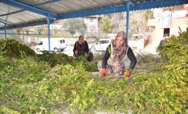 Köylünün yeni geçim kaynağı yaban mersini yağı