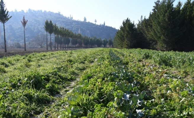 Adabahçe'de kış hasadı