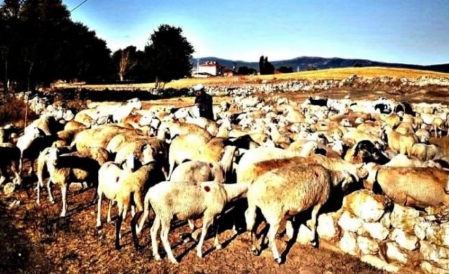 Aslanapa'da koyun ve keçi çiçeği hastalığı