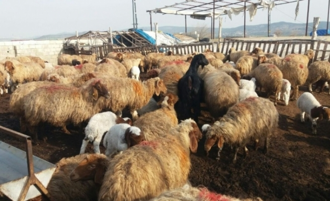 Kahramanmaraş'ta hayvancılık gelişiyor