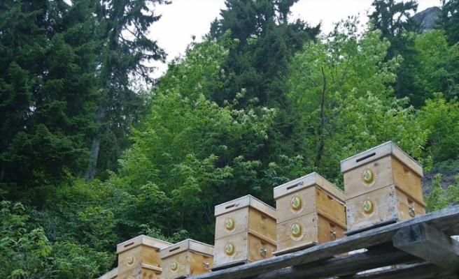 (ÖZEL) Bal ormanları ülke ekonomisine 200 milyon TL katkı sağladı