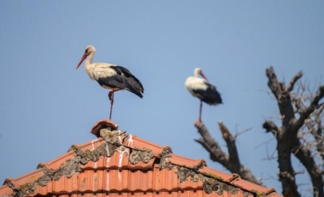 Türkiye'de leylek sürüleri görülmeye başlandı, doğa fotoğrafçıları heyecanlı