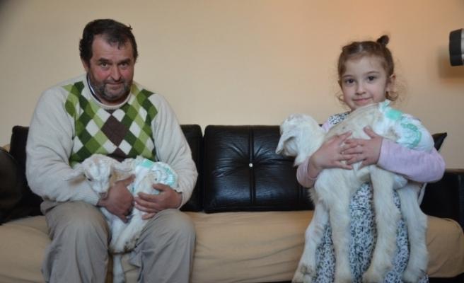 Yavru keçiler Kartopu ve Bulut anne şefkatiyle evde bakılıyor
