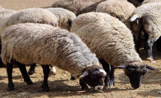 '300 koyun' için başvurular başladı