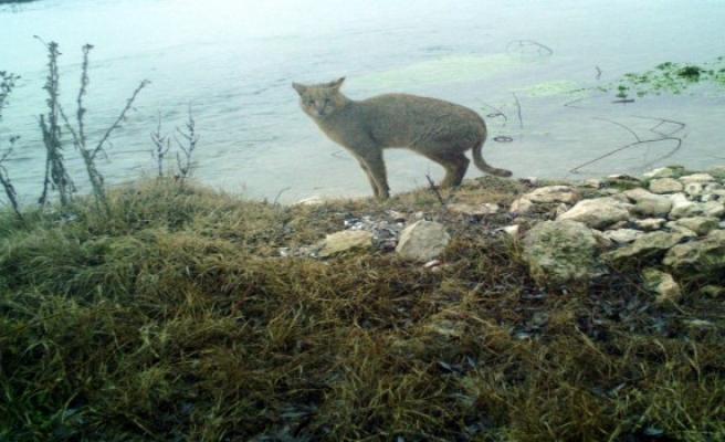 Saz kedisi Eskişehir'de ilk kez görüntülendi