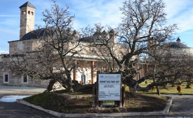 850 yıllık karadut ağacı meyve vermeye devam ediyor