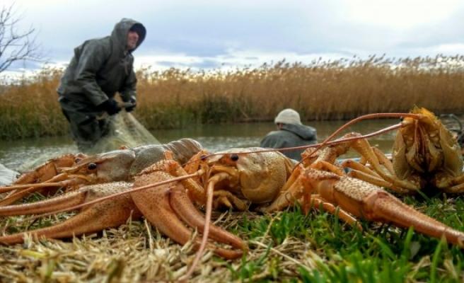 İznik Gölü'nde balıkçıları yüzünü güldüren kerevit bolluğu