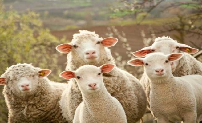 İznik'te bir adamın çalındı sandığı koyunları firar etmiş