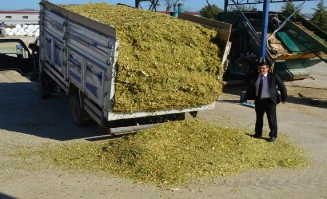 Buğdaydan daha verimli 'tritikale'