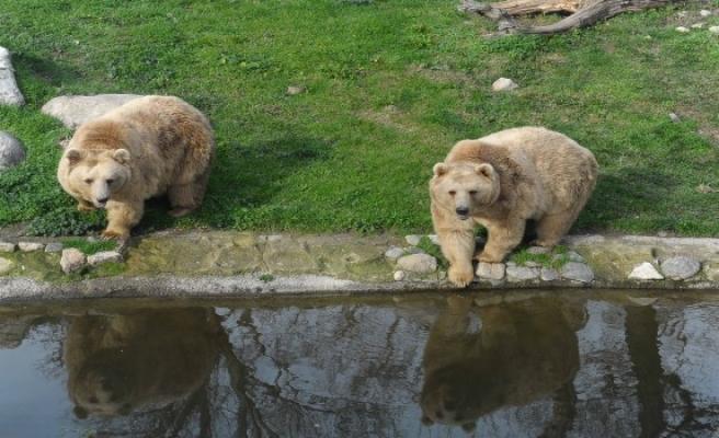 Bursa'da ayılar kış uykusuna yatmayı unuttu