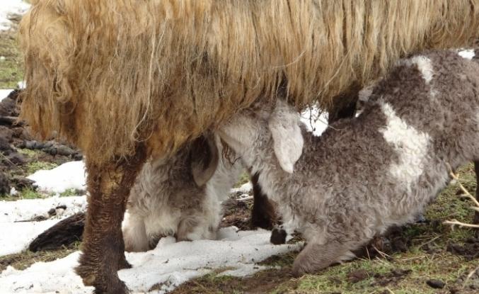 Anneleri telef olan kuzular biberonla besleniyor