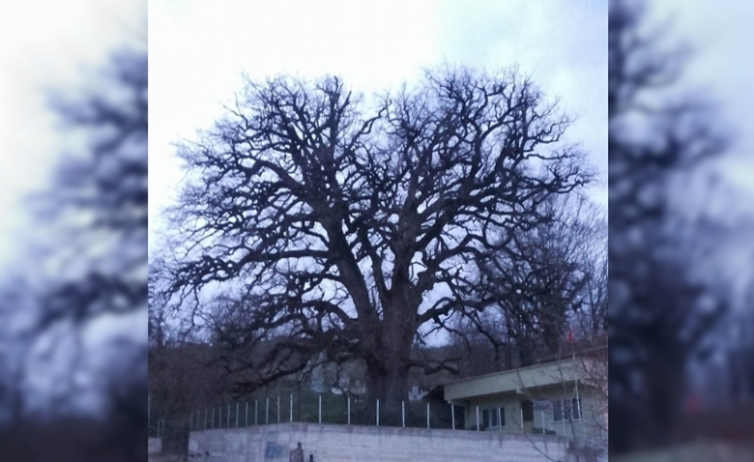 Koca Meşe 'anıt ağaç' oluyor