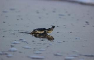 Kaplumbağalar deniz ile buluştu