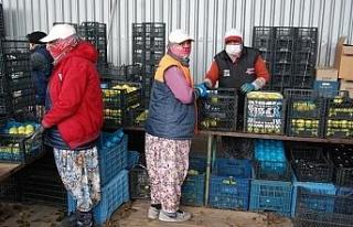 Bayramiçli elma üreticileri zor durumda