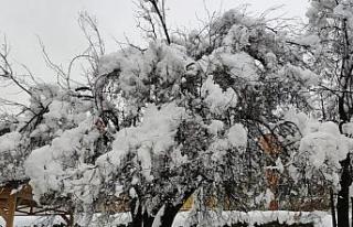 Erken çiçek açan meyve ağaçları kar altında...