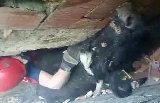 Köpeklerden kaçan inek iki duvar arasında sıkıştı