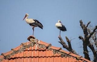 Türkiye'de leylek sürüleri görülmeye başlandı,...