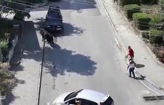 Kaçan kurbanlık danayı mahalleli kovaladı