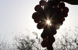 Rusya'ya yaş üzüm ihracatı