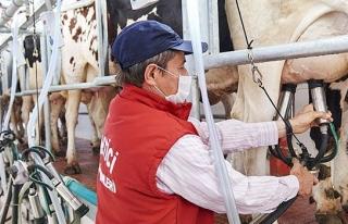 Manisalı aile günlük 3 ton süt sağıyor