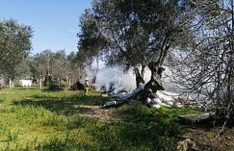 Ot yangını zeytin ağaçlarına da zarar verdi