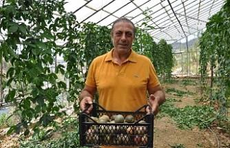 Gurbetçinin ilk hasadını yaptığı passifloraların kilosu 75 lira