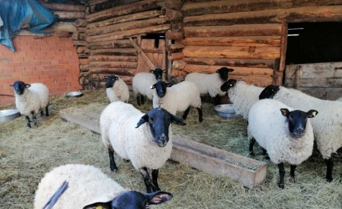 Artvin'e özgü bijik koyununun yok olmaması için harekete geçtiler