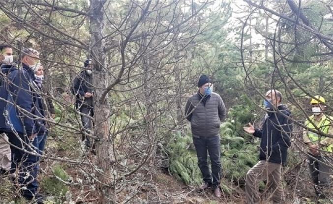Domaniç ormanlarında sıklık bakımları