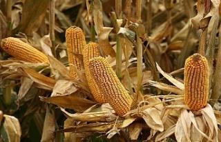 Şampiyon yerli mısır tohumları üreticilerin yüzünü...