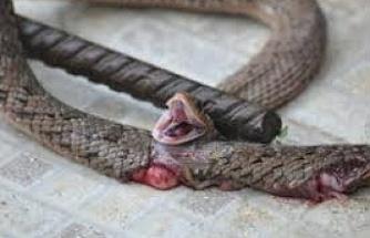 Yılanı öldürmek isterken kendi öldü